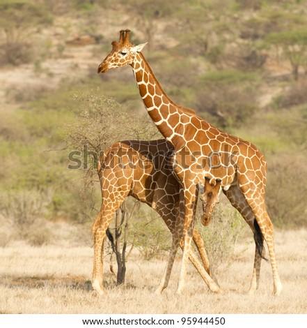 Reticulated Giraffe (Giraffa camelopardalis reticulata) in Kenya's Samburu Reserve