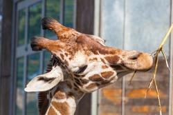 Reticulated giraffe (Giraffa camelopardalis reticulata) is a subspecies of giraffe native to Somalia, southern Ethiopia, and northern Kenya.