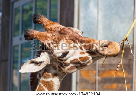 Reticulated giraffe (Giraffa camelopardalis reticulata) is a subspecies of giraffe native to Somalia, southern Ethiopia, and northern Kenya.