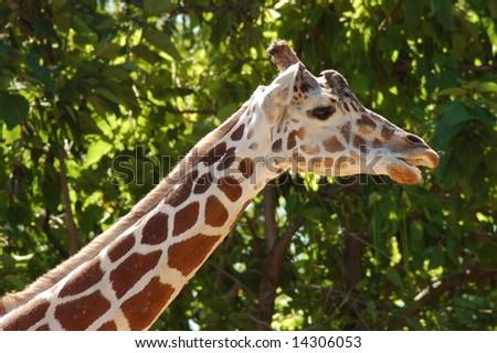 Reticulated Giraffe Head and Neck
