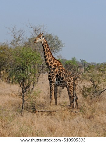 Reticulated giraffe on the African savannah