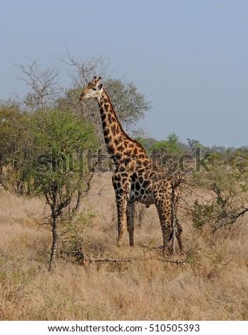 Reticulated giraffe on the African savannah