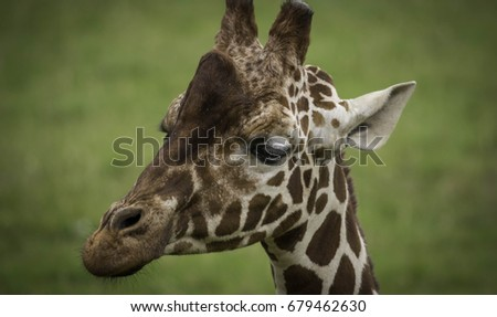 Reticulated giraffe portrait posing on a green field #679462630
