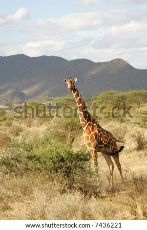 Reticulated Giraffe with landscape background in Buffalo Springs National Park Kenya Africa