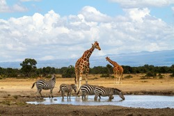 Reticulated giraffes at waterhole while zebras drink water. Ol Pejeta Conservancy, Kenya, Africa. Giraffa camelopardalis reticulata and Equus quagga. Wildlife seen on African safari vacation