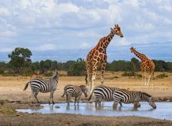 Reticulated giraffes queue at waterhole as zebras drink water. Ol Pejeta Conservancy, Kenya, Africa. Endangered animals, Giraffa camelopardalis reticulata, equus quagga drinking