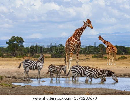 Reticulated giraffes queue at waterhole as zebras drink water. Ol Pejeta Conservancy, Kenya, Africa. Endangered animals, Giraffa camelopardalis reticulata, equus quagga drinking Foto stock ©