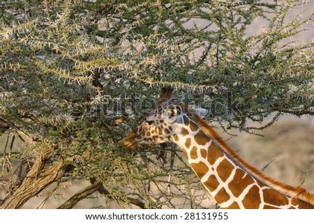Reticulated or Somali  Giraffe ( Giraffa Camelopardalis reticulata)  eats acacia leaves in Samburu  National Reserve, Kenya, East Africa