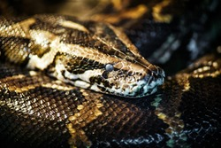 Reticulated python (Malayopython reticulatus) snake sometimes known as Royal Python or Ball Python.Photo of reticulated python head in full face