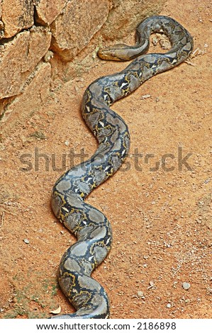 Reticulated Python Snake Stock Photo 2186898 : Shutters