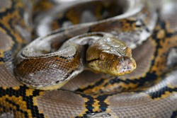 Reticulated python Snake of Borneo | Python reticulatus