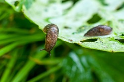 Reticulated slug (Deroceras sturangi, Deroceras agreste, Deroceras reticulatum) on green leaf of cabbage