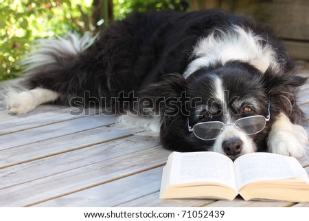 Retired Elderly Border Collie Dog Relaxing on Deck with Book