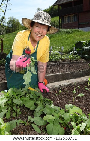 Retired older woman picking vegetables from her garden. - stock photo