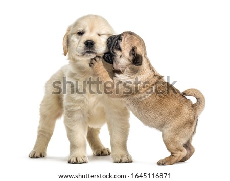 Retriever and pug puppies playing together, isolated on white Сток-фото ©