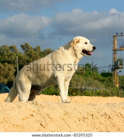 retriever dog portrait outdoors