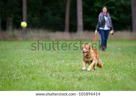 Retriever dog running fast to catch a yellow tennis ball, on a field with green grass in the forest #105896414