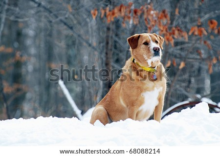 white golden retriever lab mix. stock photo : Retriever/lab