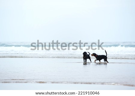 Retriever labrador and doberman playing together on the beach, beautiful dogs on beach walk, walk for dogs, beautiful black dogs
