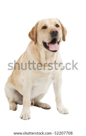 Retriever Labrador dog of a yellow ivory creme shade in studio isolated