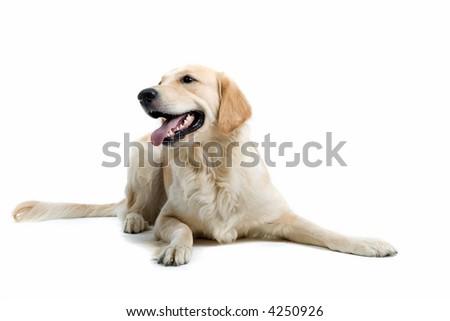 retriever labrador laying down on the ground