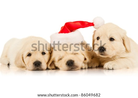 retriever puppy in a Santa Claus hat