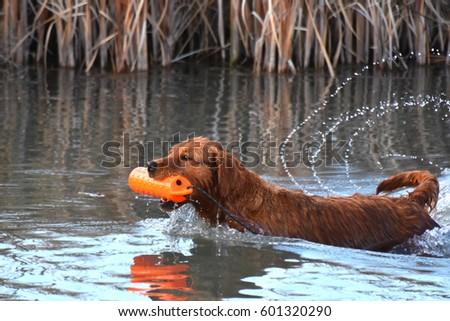 Retriever Training - Gun Dog  #601320290