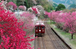 Retro cars of a local train departing from Godo Station of Watarase Keikoku Railway, with vibrant pink & red blossom trees blooming along the railway tracks by the mountainside in Midori, Gunma, Japan
