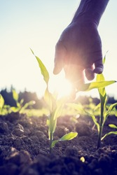 Retro image of male hand reaching down to a young maize plant growing in an agricultural field backlit by a bright early morning burst of sunlight with sun flare around the plant and hand.