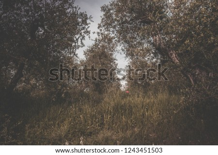 Retro looking picture of a red poppy flower in an olive grove in the Italian countryside