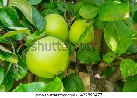Reverend W Wilks Cooking Apples Growing in a Domestic UK Garden Stock fotó ©