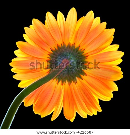 Revers side of red-yellow back lighting gerber (african daisy) on a black background