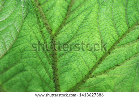 Reverse side of Brazilian giant-rhubarb or giant rhubarb or dinosaur food (Gunnera manicata) green leaf
