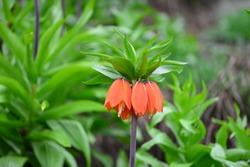 Reverse tulip flower (weeping bridal flower).