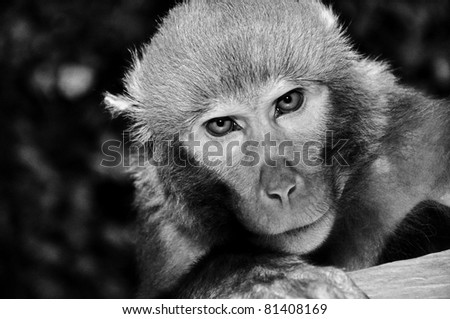 Rhesus macaque monkey at temple in Bhaktapur, portrait photo, Kathmandu valley, Nepal. B&W photo.
