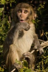 Rhesus macaque or Macaca mulatta monkey baby portrait with funny facial expression at keoladeo ghana national park bharatpur rajasthan india