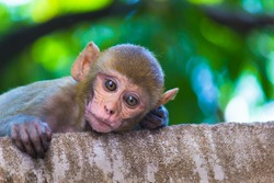 Rhesus macaques Monkeys are familiar brown primates with red faces and rears. They have close-cropped hair on their heads, which accentuates their very expressive faces.