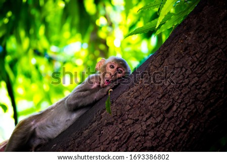 Rhesus macaques Monkeys are familiar brown primates with red faces and rears. They have close-cropped hair on their heads, which accentuates their very expressive faces.  Photo stock ©