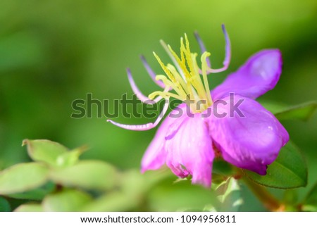 Free photos small purple flowers with yellow stamens avopix rhexia virginica a small purple flower with long yellow stamen 1094956811 mightylinksfo