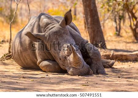 rhino #507491551