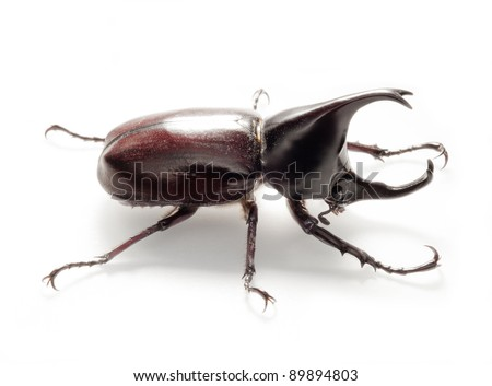 rhino beetle bug isolated on white background