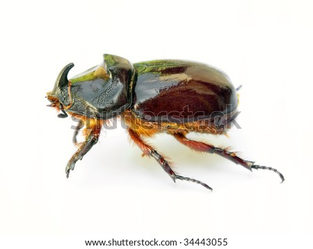 Rhino beetle isolated on a white background.