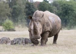rhino biggest animal wild life