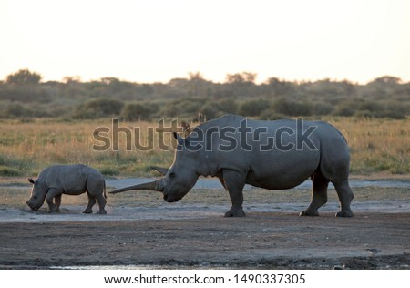 RHINO CALF WITH ADULT MOTHER AT SUNDOWN IN AFRICA #1490337305