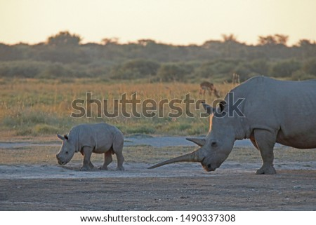 RHINO CALF WITH ADULT MOTHER AT SUNDOWN IN AFRICA #1490337308