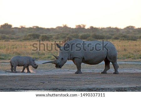 RHINO CALF WITH ADULT MOTHER AT SUNDOWN IN AFRICA #1490337311