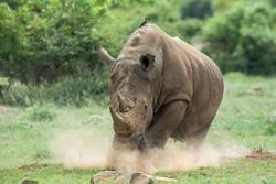 Rhino, Dust, Running, Charge