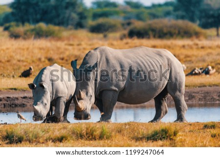 rhino family, mother with baby of white rhinoceros Khama Rhino Sanctuary reservation, Botswana safari wildlife, Wild animal in the nature habitat. This is Africa.