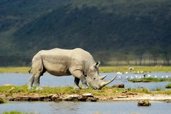 Rhino in the National Reserve of Africa, Kenya