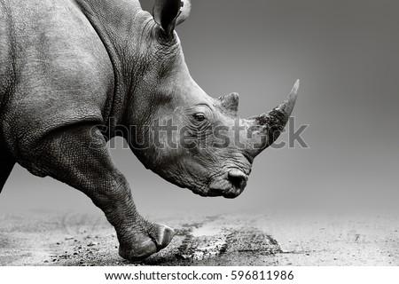 Rhino or Rhinoceros close up while mobile in Pilanesberg National Park. Fine art, monochrome. Ceratotherium simum. Rhinocerotidae Сток-фото ©